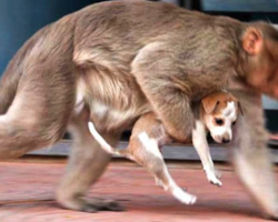 Monkey Snatches Puppy Right Off The Street, And People Are Left Fearing The Worst