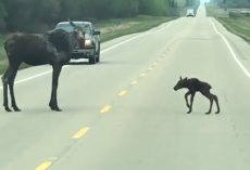 Mama Moose Takes Time To Help Her Little Wobbly One Cross The Road