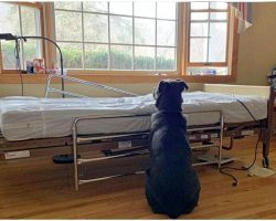 He Sat At Empty Hospital Bed, Waiting For His Dead Owner Who'd Never Come Back