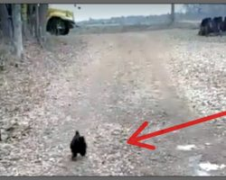 Excited Rooster Runs To Bus Stop Every Day To Greet His Favorite Person