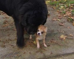 Tiny Chihuahua Helps Her Big Dog Friend From Being Dognapped!
