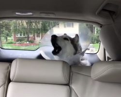 Husky Isn't Happy With Mom After Spending All Day At The Vet