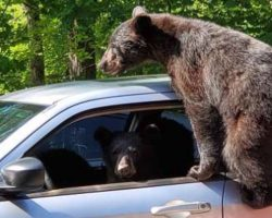 Man Goes Outside And Sees A Family Of Bears Trying To Steal His Car