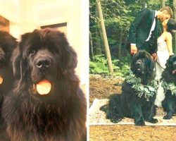 Hockey Star Murray Chooses His Dogs To Be His Groomsmen, And They Don't Disappoint