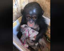 Baby Chimp Was Kept In A Box For Months Where She Clung To An Old Cloth For Comfort
