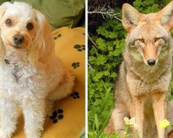Coyote Uses Dog Door To Break Into Home, Attacks 2 Dogs And Kills One Of Them