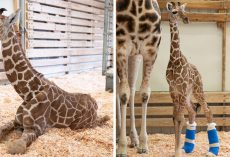 Giraffe Born With Rare Disorder Gets Delightful Custom Shoes To Help Him Walk