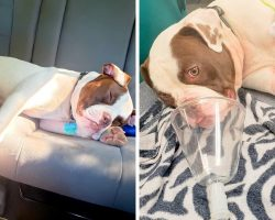 Dognapper Shoots Puppy After Dad Refuses To Hand Him Over, Pup Fighting For Life