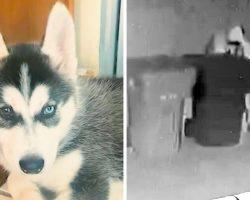 Hooded Stranger Steals Husky Puppy, Family Seeking Public's Help In Finding Him