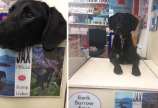 Dog Works At Post Office As The Official Stamp Licker