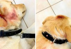 Dog On Deathbed After Severe Assault & Beating, $10000 Reward For Info On Abuser