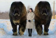 10 Abnormally Large Dogs In The World