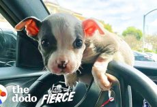 Emaciated Pit Bull Puppy With 50% Chance Of Survival Grows Up Into The Most Gorgeous Pittie Ever!
