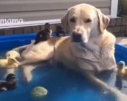 Labrador Lounges in Pool and Provides an Island for Baby Ducks. So Cute!