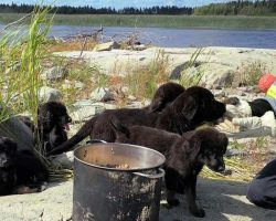 Seven Newfoundland Puppies Found Living Alone On Desolate Island