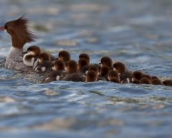 Photographer Captures Amazing Image Of Mama Duck with 76 Ducklings