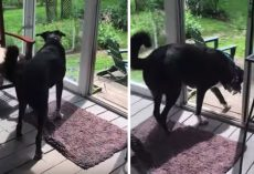 Dog Gently Catches And Releases Bird Trapped On The Porch