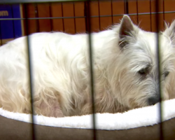 Puppy Mill Rescue Lily Gets To Sleep In A Bed For The First Time