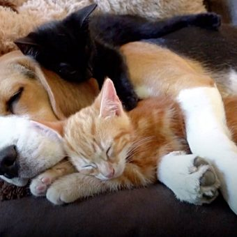 Beagle Gets Her Very Own Kittens And Immediately Becomes The Best 'Mother'