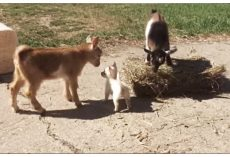 Farm Adopted A Tiny Puppy And Then Introduced Her To The Baby Goats