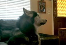 Mad Malamute Won't Look At Mom After She Makes Him Get A Bath