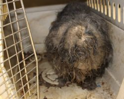 Neglected Shih Tzu Found With Cockroach Nests Throughout Her Fur