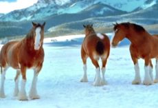 Budweiser Clydesdale's Decide To Have A Snowball Fight And Prove They Should Never Be Messed With In Snowball Fights