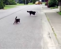 "Cat ""Superhero"" Defends Her Canine Friend Against The Neighborhood Bully"