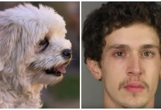 Man Bashes Tiny Body Of Havanese Dog In His Care, Kicks Her With Boots On