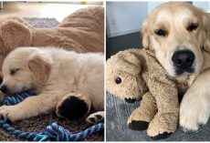Golden Retriever Grew Up With Stuffed Animal And Refused To Go Anywhere Without It