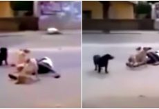 Homeless Man Collapses In Middle Of Road. Stray Dogs Protect Him And Won't Let Anyone Near Him