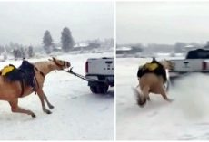 Man Ties Horse To Truck & Drags Him Down Road While Lady Films & Mocks Horse
