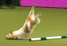 Jack Russell Makes Up His Own Routine At Agility Show And Won Over Crowd