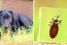 """Kissing Bug"" Fatally Infecting Dogs & Killing Them Within Days, Owners Warned"