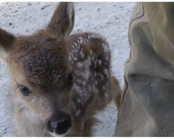 "Lonely Baby Deer Approached By Logger, Mistaked Him For Her ""Mama"""