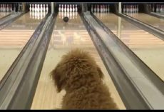 Puppy's Family Owns A Bowling Alley And Teaches Him How To Bowl