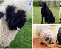 Cuddly Sheep Thinks He's One Of The Dogs & No One Tells Him Otherwise