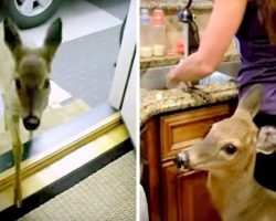 Baby Deer Runs Miles & Crosses Forest To Have Breakfast At Woman's House Every Day