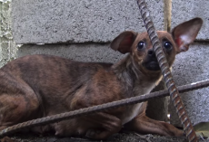 Dog Was Used For Breeding And No Longer Wanted And Abandoned On The Streets