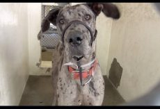 Great Dane Pup Mercilessly Surrendered To Kill Shelter, And Cries Before Sleeping