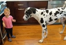 Little Girl Tries To Teach Her Great Dane To Sit For Treats And She's Thrilled When It Worked
