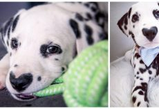 "Meet Wiley, Most Adorable Dalmatian With A ""Heart"" On His Nose"