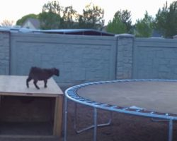 """Mischievous Baby Goat Finds A Trampoline, And Had The """"Time Of His Life"""""""