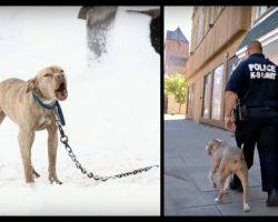 Pit Bull Chained Up In Snow Cried For Help And A Police Officer Gave Her The Chance Of A Lifetime