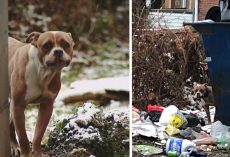 Pit Bull Abandoned By Her Owners At A Dumpster Amongst The Frozen Trash