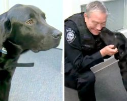 Dog Who Failed As A Guide Dog Didn't Lose Hope, He's Now A Comfort Dog For Cops