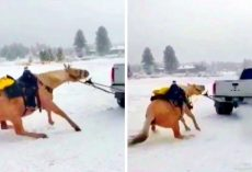 "Couple Drags Horse Behind Truck To ""Discipline"" Him, Helpless Horse Screams In Pain"