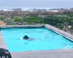 Wild Baboons Drop By Man's House To Party In His Pool