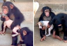 Woman Brings Dying Pup To Chimp Sanctuary, Gets Tender Care From Chimp Family