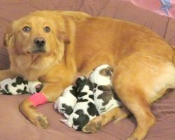 Workers Find Dumped Golden Retriever, As She Gave Birth To 'Cow Babies'